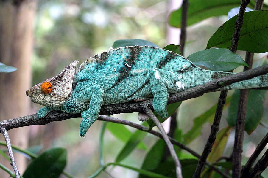 Chameleon_2