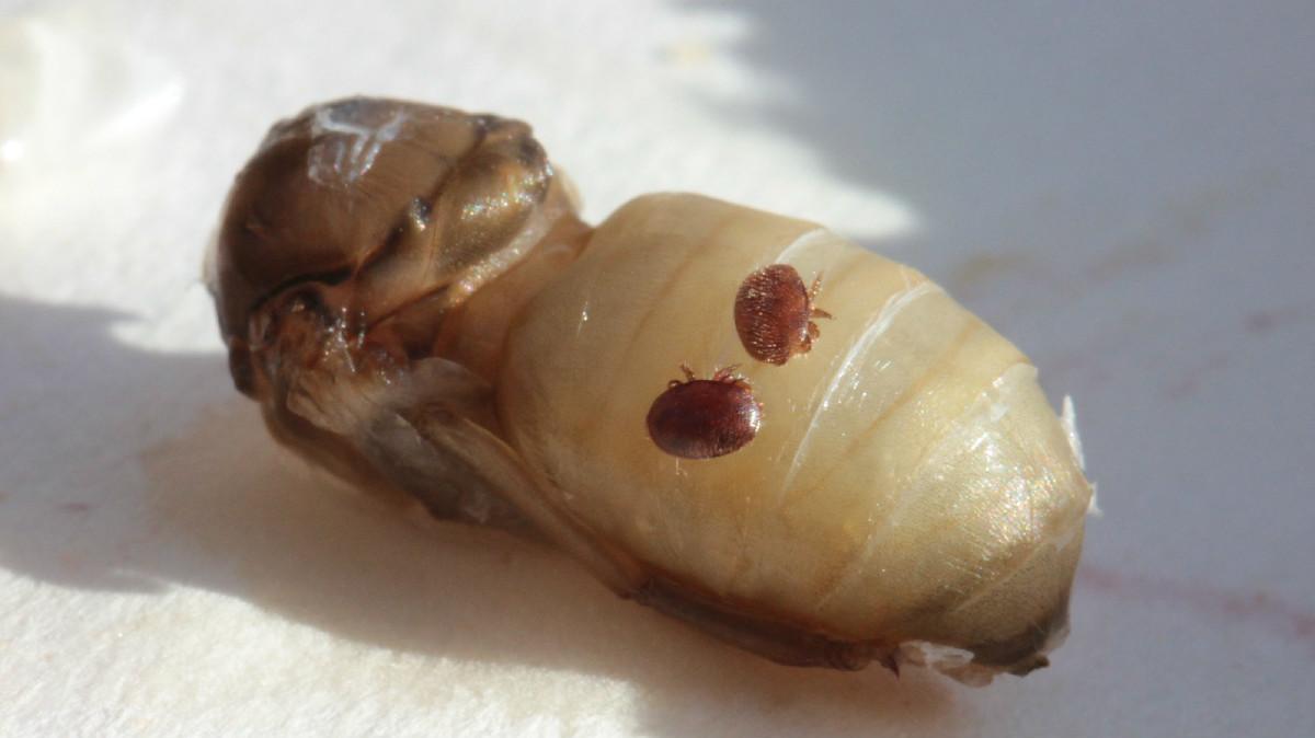 Varroa destructor na včelí larvě (foto: Lukáš Rytina)